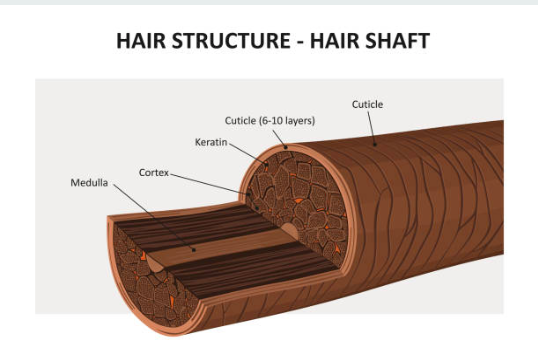 Luxju Hair Structure - Hair Shaft
