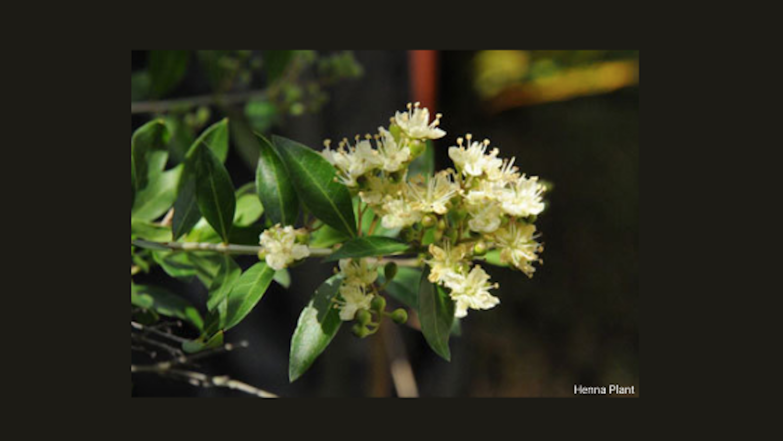 Luxju - Henna Plant