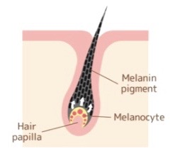 Luxju - Melonocyte Hair Follicle
